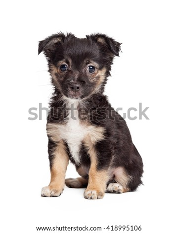 Cute little black and tan mixed terrier breed puppy sitting on white - stock photo