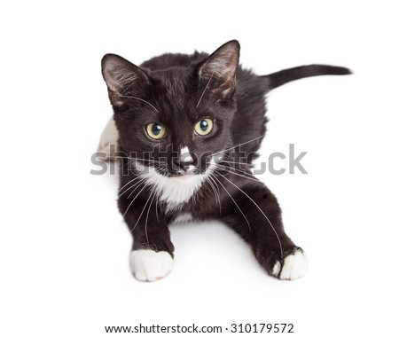 Cute little black and white kitten laying down on a white background and looking forward - stock photo