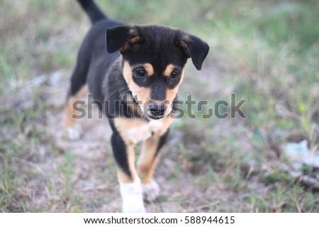 Cute little black brown white puppy dog walk thru dry lawm