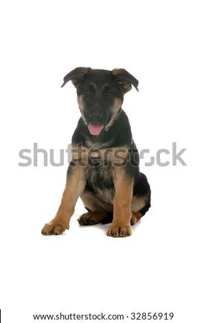 cute little brown and tan German Shepherd puppy - stock photo
