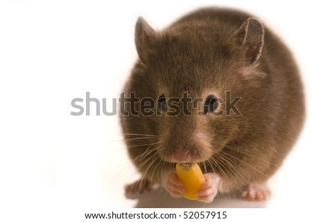 Cute little brown hamster isolated on white with copy space eating corn seed - stock photo