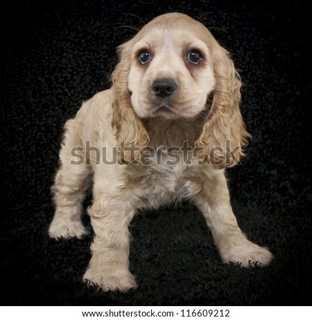Cute little buff Cocker Spaniel puppy on a black background. - stock photo