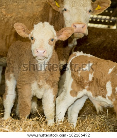 Cute Little Calf standing with Mother in Barn - stock photo