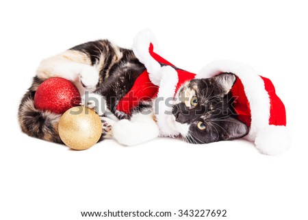 Cute little Calico breed kitten wearing a red Christmas Santa Claus outfit and holding gold and red tree ornaments - stock photo