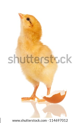 Cute little chicken and egg shell isolated on white background - stock photo