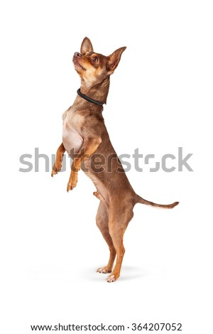 Cute little Chihuahua dog standing and looking up to the side begging - stock photo