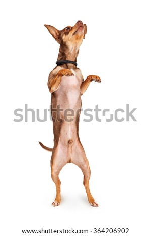 Cute little Chihuahua dog standing upright on hind legs with paws and head up