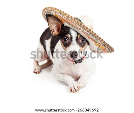 Cute little Chihuahua dog wearing a Mexican sombrero while laying on a white background and looking at the camera - stock photo