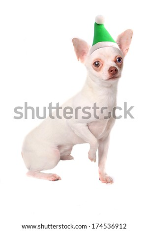 Cute little chihuahua with different colored eyes wearing a green Christmas elf hat on a white background