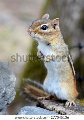 Cute little chipmunk on alert sniffing the wind  - stock photo