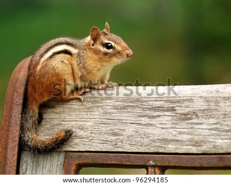 Cute little chipmunk sitting on the top of a bench