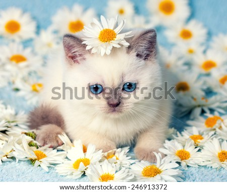 Cute little color point kitten sitting on chamomile flowers - stock photo