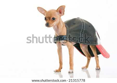 Cute little dog in cap, isolated on white background - stock photo