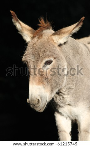 Cute little donkey portrait isolated on black - stock photo