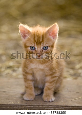 Cute little farm kitten with bright blue eyes - stock photo