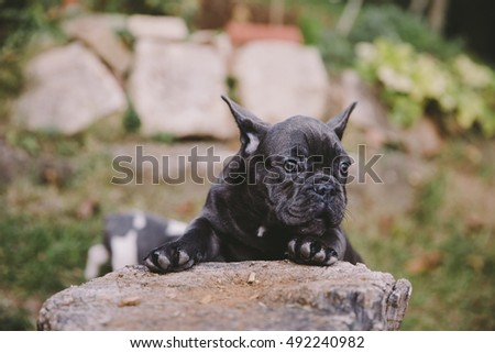 cute little french bulldog puppies
