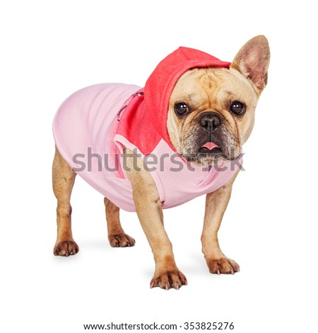 Cute little French Bulldog wearing a pink hooded sweat jacket   - stock photo
