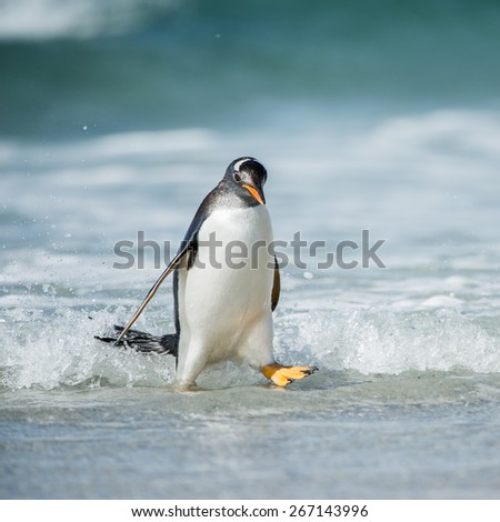 Cute little gentoo penguin neat the ocean water in Antarctica - stock photo