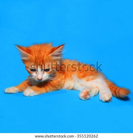 Cute little ginger kitten on a blue background - stock photo