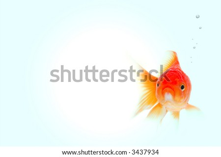 Cute little gold fish swimming