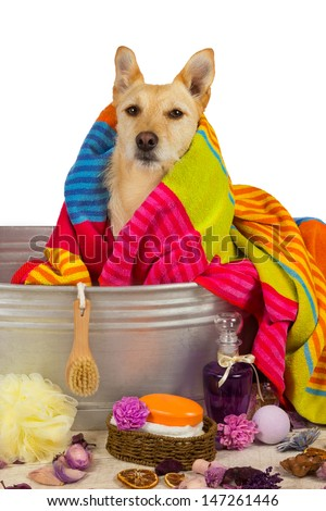 Cute little golden terrier dog drying off after a bath sitting in the metal tub draped in a colorful towel and surrounded by bathing accessories - stock photo