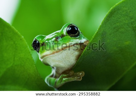 Cute little green tree frog peeking out from behind the leaves - stock photo