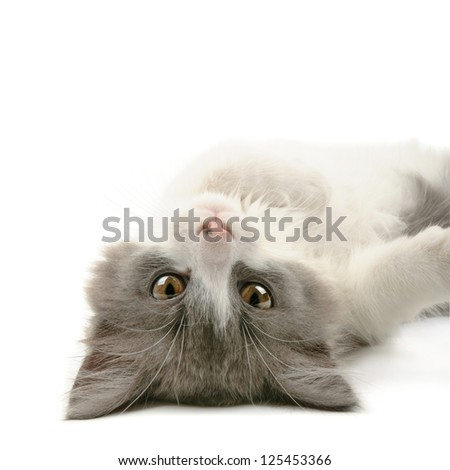 Cute little grey and white fluffy kitten lying and looking  isolated on white background - stock photo