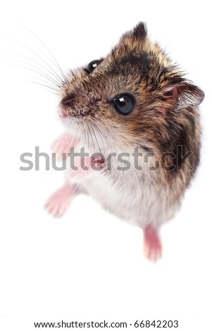 Cute little hamster isolated on white background - stock photo