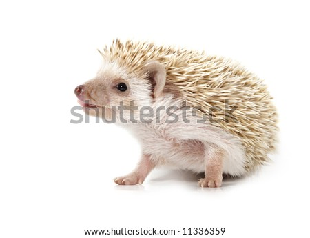 cute little hedgehog isolated on white - stock photo