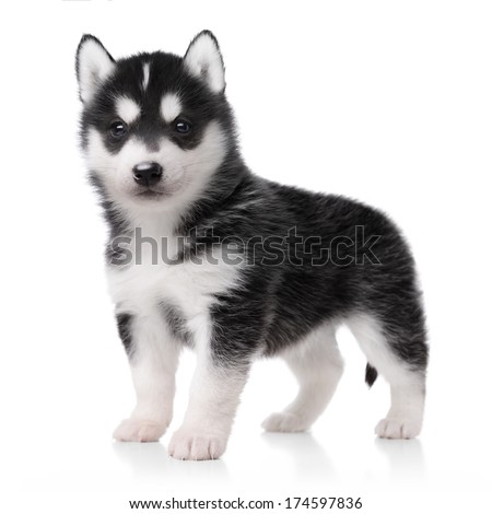 Cute little husky puppy isolated on white background - stock photo