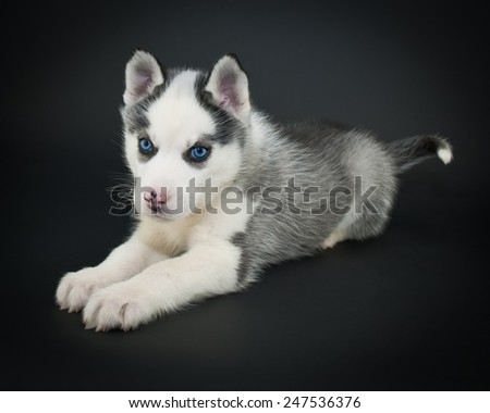 Cute little Husky puppy laying on a black background. - stock photo