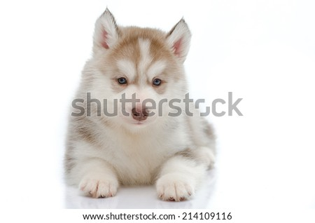 Cute little husky puppy on white background