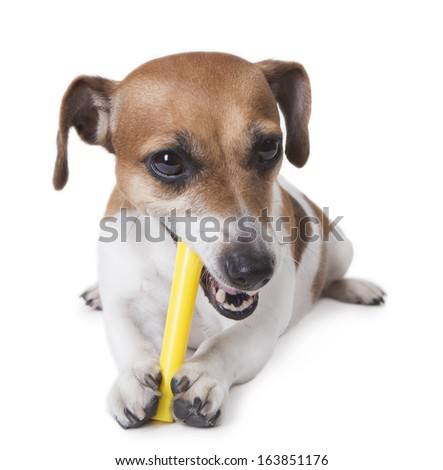 Cute little jack russell terrier with pleasure eats a yellow plastic stick. White background. studio shot - stock photo