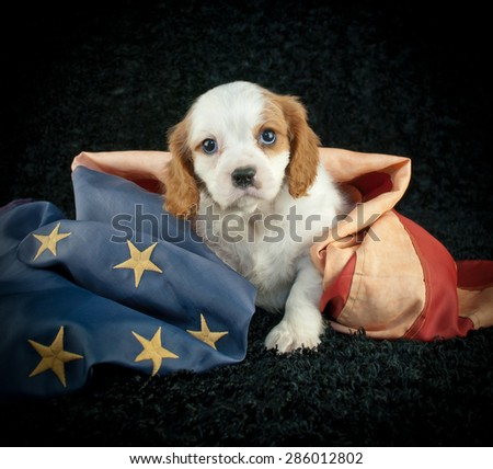 Cute little King Cavalier puppy sitting on a black background with an  America flag wrapped around him. - stock photo