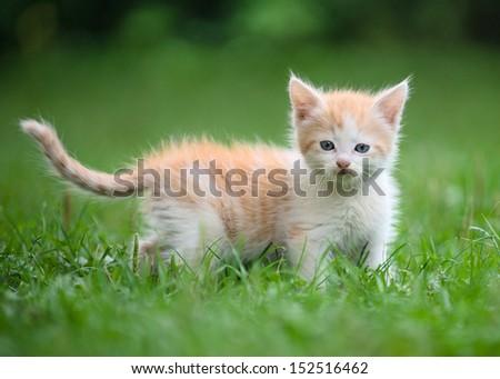 cute little kitten in the grass - stock photo