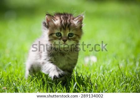 Cute little kitten marching through a green lawn - stock photo