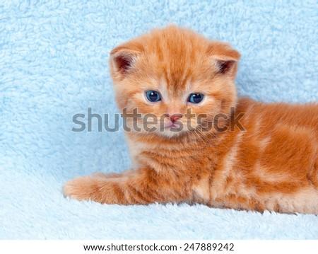 Cute little kitten on blue blanket - stock photo