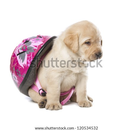 cute little Labrador Retriever puppy with helmet isolated over white background - stock photo