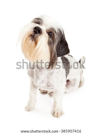 Cute little Lhasa Apso breed dog sitting and looking up with attention. Isolated on white.