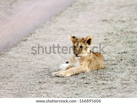 Cute little lion cub - stock photo