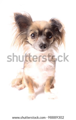 Cute little long haired chihuahua with one ear up and one down on a white background