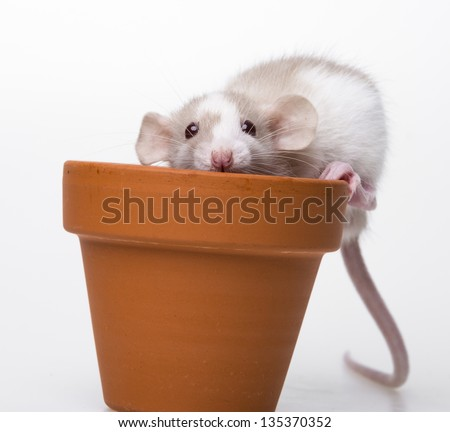 cute little mouse - white background - stock photo