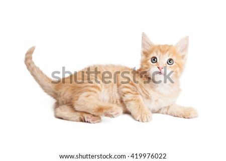 Cute little orange color young tabby kitten laying on side over white background looking up