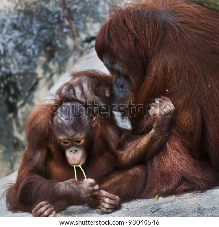 Cute little orangutan and his mother sitting on the rock - stock photo