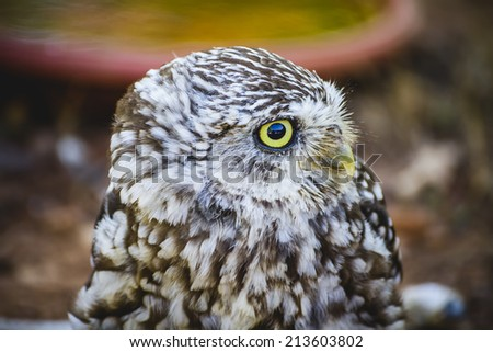 cute little owl, gray and yellow beak and white feathers - stock photo