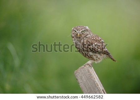Cute little owl on English farmland  - stock photo