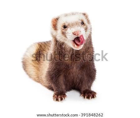 Cute little pet ferret on white with mouth open and tongue sticking out - stock photo