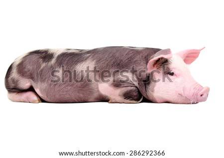 Cute little pig lying isolated on white background - stock photo