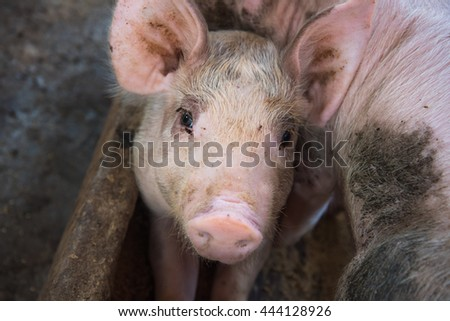 cute little Pig on cement ground in the traditional farm at pig breeding farm. - stock photo