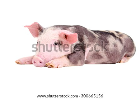 Cute little piglet lying isolated on white background - stock photo